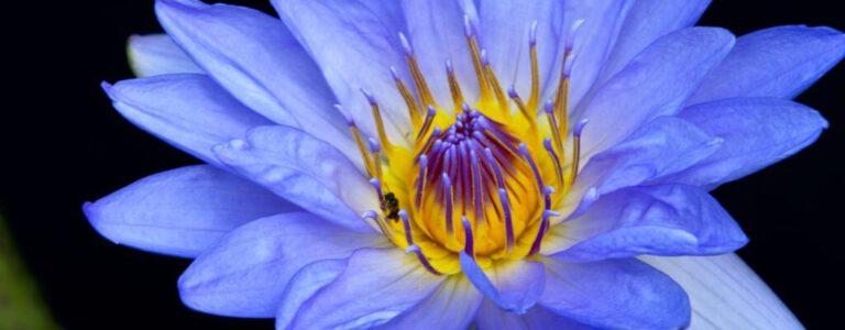 Blauwe lotus tijdens truffel ceremonie